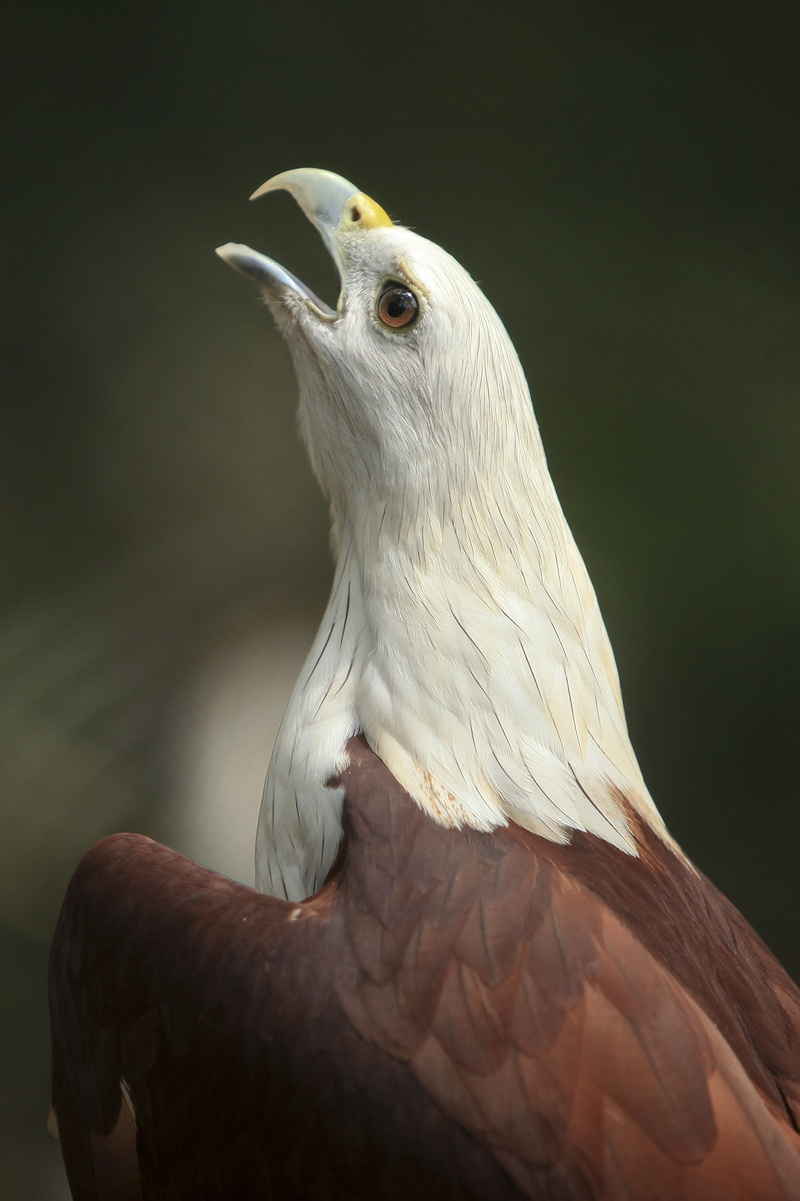 A sea eagle in the Slamet Haryono centre operated by Jakarta animal aid network, JAAN. The previous year, 2009, the centre released 55 of these threatened birds back into the wild.