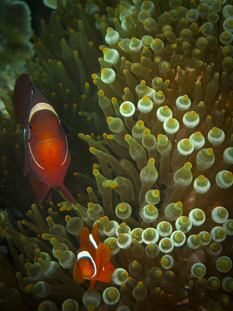 Clown-fish are identified as one of ten species that will be the hardest hit from climate change. Scientists have discovered that rising CO2 levels and ocean acidification in the oceans alter their sense of smell, preventing them from escape from predators and finding shelter.