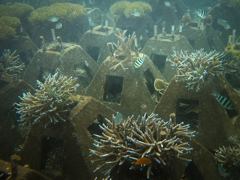 Bird's nest coral is re-planted in concrete blocks in an effort to rehabilitate the destroyed reefs on the sea bed outside Pulau Pramukha, Thousand Islands. The locals and the authorities have realised the importance of reefs to support marine diversity and protect the land disappearing into the sea.