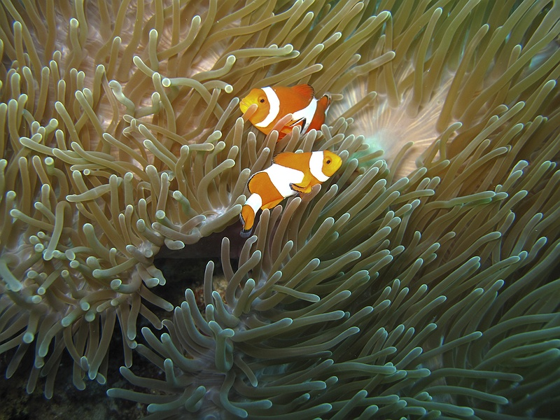 Clownfish are affected by climate change. Increasing ocean acidification is disrupting their sense of smell and impairing their ability to find sea anemones that they depend on.