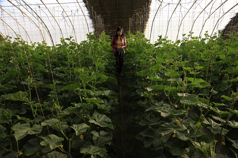 Miss Cai inside one of her twenty four greenhouses. Government grants can cover up to half the cost of building these simple mud and polythene greenhouses but they are still reserved for the more affluent. The water saved by using a greenhouse allows farmers to grow fruit and vegetables which demand more water than economy crops such as cotton and chillies. Miss Cai grows green peppers, cucumber, tomatoes and melons.
