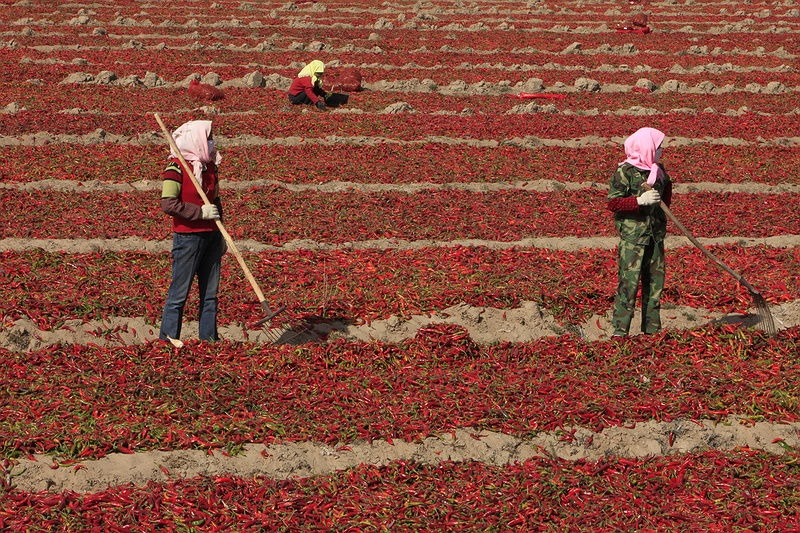 Three women sack up harvested red hot chilli peppers outside Wuwei, north west China. Export-oriented production in dry lands promotes desertification as the plants containing precious water are transported elsewhere around the globe.