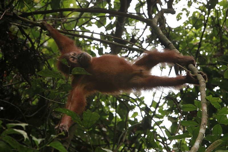Orang-utans and the Sumatran tiger are on the brink of extinction. Once widely distributed across south-east Asia, only two populations of the intelligent, tree dwelling ape remain in the wild in Borneo and Sumatra. Orang-utans are among the most intelligent primates on earth.