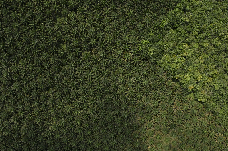 A palm oil plantation borders intact rainforest. Endless rows of palm plantations extend 360 degrees beyond the horizon, further than the eye can make out viewed from above.