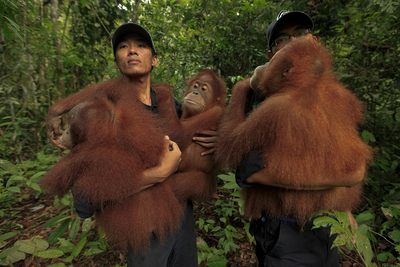 Two workers from the Frankfurt Zoological Society's centre in Bukit Tigapuluh National Park carry orphaned orang-utans into the rainforest for training to be reintroduced into the wild. Orang-utan habitat destruction due to logging, mining, forest fires and fragmentation by roads continues to increase rapidly. The orang-utan -