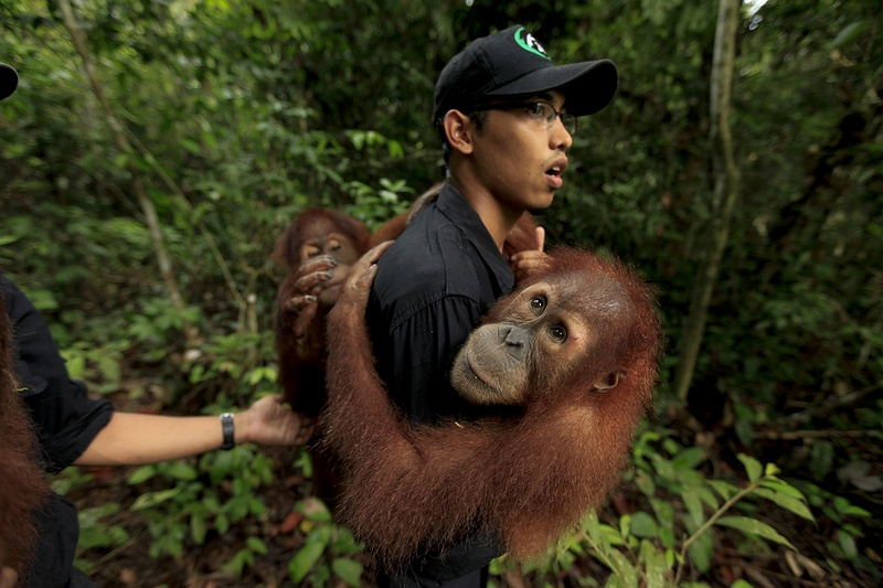 Orang orphans are taken out into the forest for rehabilitation training so they can eventually be released back into the wild. Protecting the peatland forests is essential, not only for saving orang-utans and preserving biodiversity, but to prevent massive carbon emissions that are contributing significantly to climate change.