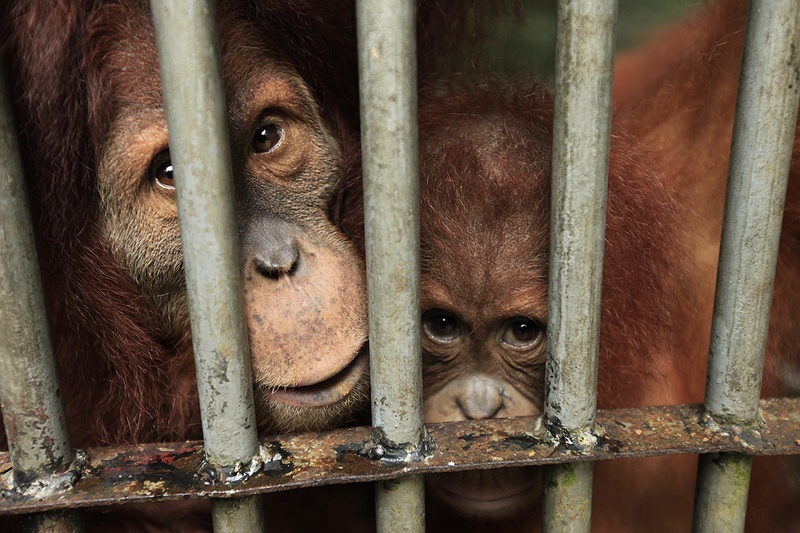 These rescued orang-utans live at the Frankfurt Zoological Society's centre in Bukit Tigapuluh National Park, Sumatra. The two have lost their habitat and were collected by the centre. Sometimes the centre can not reach Orangs in time and many are killed by locals who deem them to be pests damaging crops.