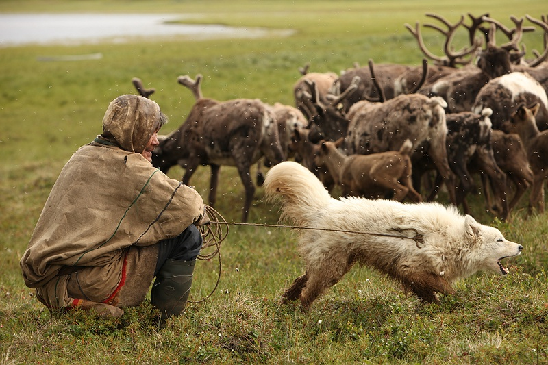 The Samoyed or Bjelkier dogs are one of the oldest domesticated canine breeds. The Nenets share their dwellings with these invaluable herding dogs. The tribe manage over 2,000 reindeer and are preparing to cross the Yuribey river from South to North. The migration over the river is only possible at certain points of the year as the water level rises with the summer melt. Migrating on the peninsula is becoming trickier for the herders as the climate gets warmer.