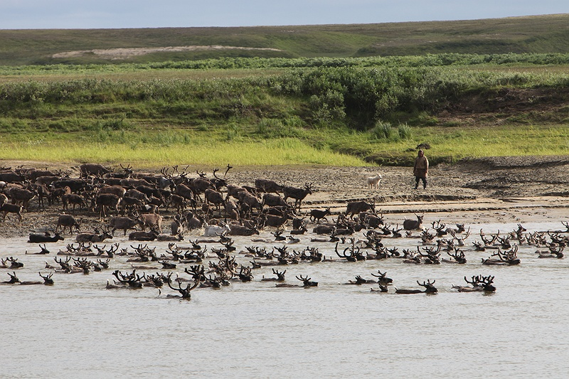 Over two thousand reindeer plunge into the Yuribey river crossing from South to North. The migration over the river is only possible at certain points of the year and becomes trickier as the climate gets warmer. The quick spring melt and refreezing leaves unstable thin ice that reindeer can't cross giving rise to food shortages and overgrazing.