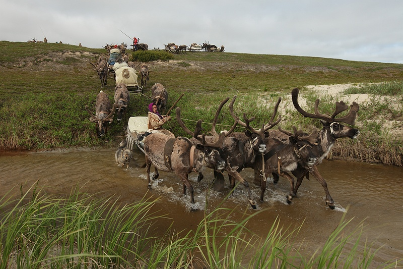 Through summer and winter the reindeer transport the Nenets across the tundra.