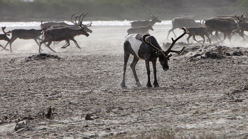 The reindeer seem delighted to reach the other side of the Yuribey River. Over two thousand reindeer plunge into the Yuribey river crossing from South to North. The migration over the river is only possible at certain points of the year and becomes trickier as the climate gets warmer. The quick spring melt and refreezing leaves unstable thin ice that reindeer can't cross giving rise to food shortages and overgrazing.