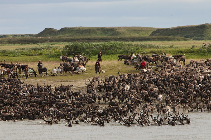 Over two thousand reindeer plunge into the Yuribey river crossing from South to North. The migration over the river is only possible at certain points of the year and becomes trickier as the climate gets warmer.