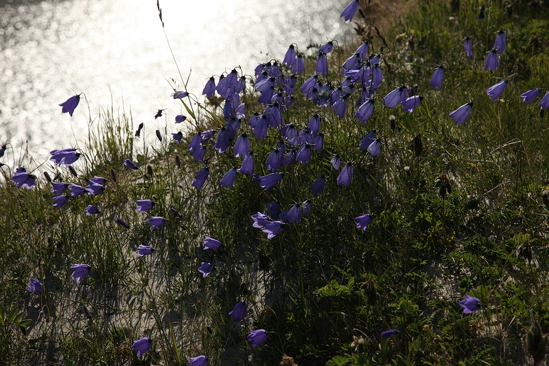 Bluebells on a high bank above the Yuribey river. The tundra flourishes with life in the summer despite the cold Arctic winters when the temperature goes down to up to -50°C.