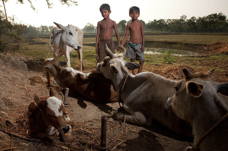 Two boys tend their family's livestock an early morning on Sagar Island. Behind them lies their last reserves of freshwater, stored in a pond waiting to be replenished by the monsoon rains.