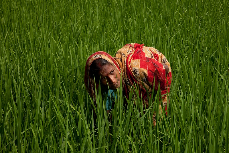 Sivani Mondal and her husband have started a successful rice growing experiment on their land. With help from the local NGO Sagar Minority Welfare Society they have returned to organic farming. Local seeds and organic fertilisers have resulted in much better harvests than using the previously in-shop recommended chemical fertilisers and pesticides.