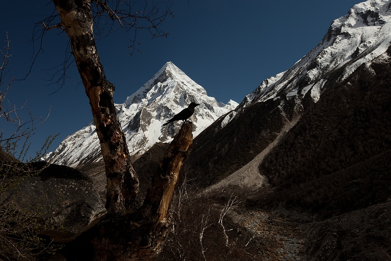 A crow rests on a branch on the 14km path up to Bhojpasa Ashram. Mountains tower above the valley path up to the Gangotri glacier while the tree line disappears along with any sense of scale. What seems like a 100 metres is actually over a kilometre. It is early spring and the winter cold is losing its grip on the high altitude environment. Huge and spontaneous landslides break the sound of boots, breath and the Bhagirathi river as large boulders, rocks and gravel thunder down towards the river. The Bhagirathi river eventually joins the Yamuna to form the Ganges 100kms downstream from this point.