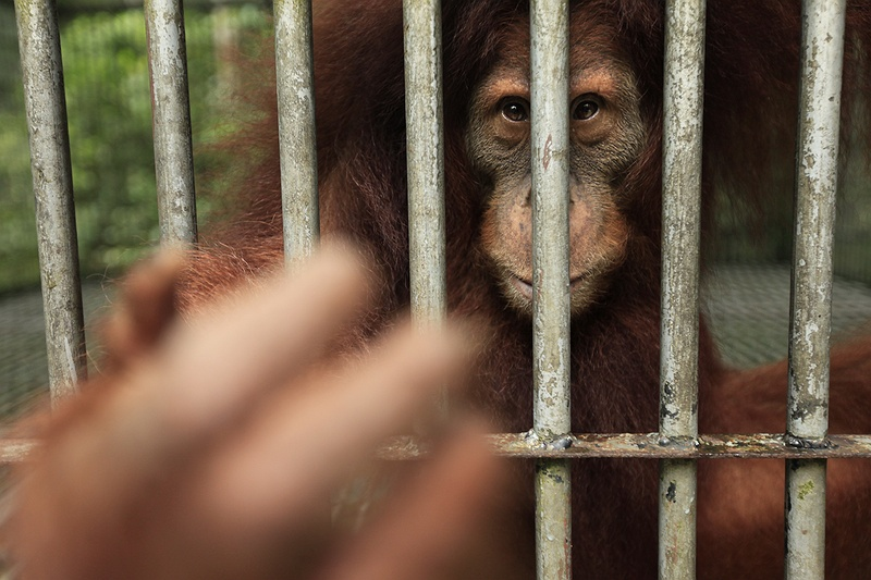 Orang-utans at the Frankfurt Zoological Society's centre in Bukit Tigapuluh National Park, Sumatra. The Orangs are kept in cages and taken out into the rainforest to train them and help reintroduce them back into the wild.  The Society's objective is the 'Establishment of a new Orang-utan population in, and protection of, the Bukit Tigapuluh National Park.'