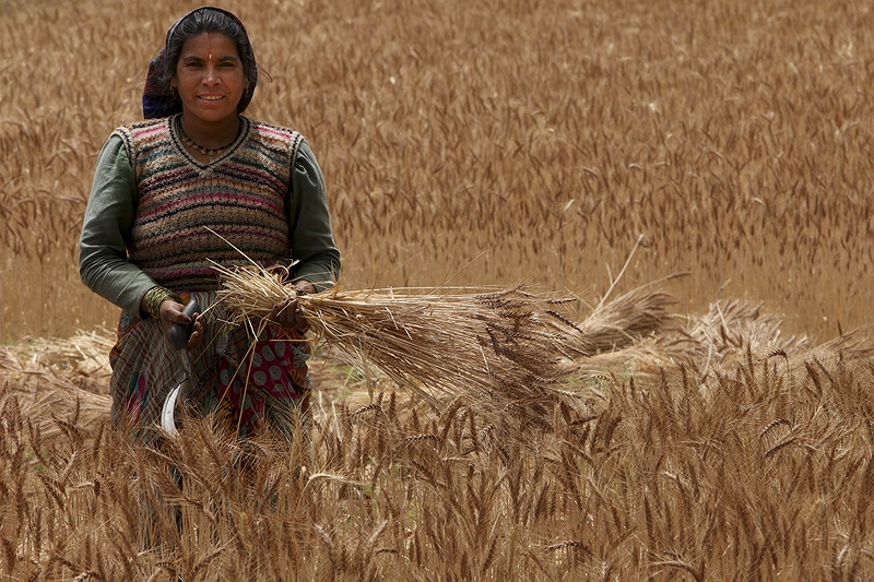 A woman harvests her crop outside the town of Utterkashi near the source of the Ganges in the Himalayas. Changing monsoon precipitation patterns affect farmers all the way along the course of this river from the mountains to the delta.